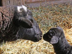 streszczenie czarna owieczka