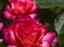 streszczenie pierścień i róża